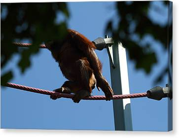 National Zoo - Orangutan - 01139 Canvas Print