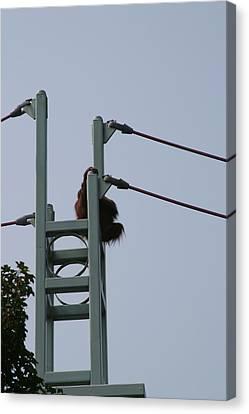 Orangutan Canvas Print - National Zoo - Orangutan - 12121 by DC Photographer