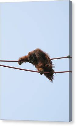 National Zoo - Orangutan - 121214 Canvas Print by DC Photographer