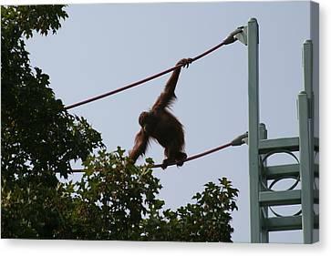 National Zoo - Orangutan - 12122 Canvas Print by DC Photographer