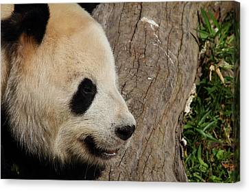 Panda Canvas Print - National Zoo - Panda - 011326 by DC Photographer