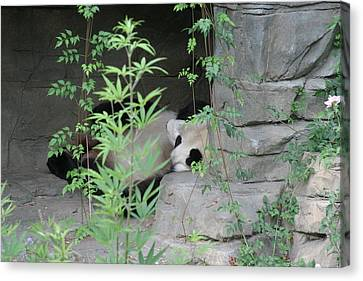 Panda Canvas Print - National Zoo - Panda - 12122 by DC Photographer