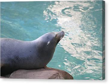 National Zoo - Sea Lion - 12121 Canvas Print