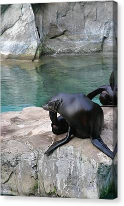 National Zoo - Sea Lion - 12125 Canvas Print by DC Photographer