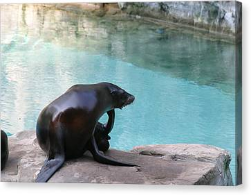 National Zoo - Sea Lion - 12127 Canvas Print by DC Photographer
