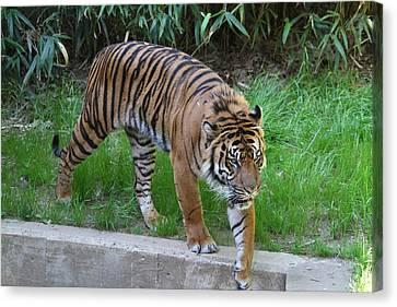 National Zoo - Tiger - 011316 Canvas Print