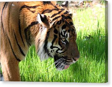 National Zoo - Tiger - 011321 Canvas Print by DC Photographer