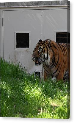 National Zoo - Tiger - 011323 Canvas Print by DC Photographer