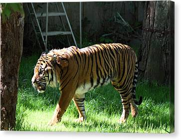 Animal Canvas Print - National Zoo - Tiger - 011328 by DC Photographer