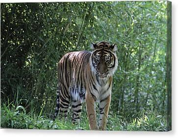 National Zoo - Tiger - 01133 Canvas Print