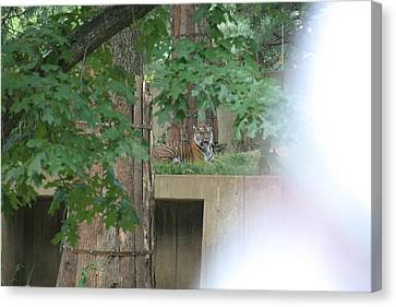 National Zoo - Tiger - 12129 Canvas Print by DC Photographer