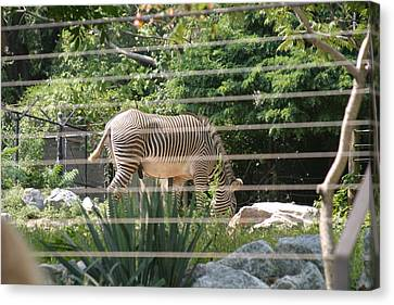 National Zoo - Zebra - 12121 Canvas Print