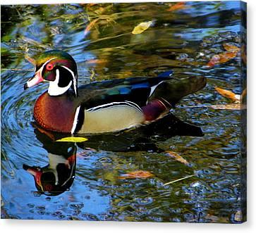 Natural Artwork    Male Wood Duck Canvas Print