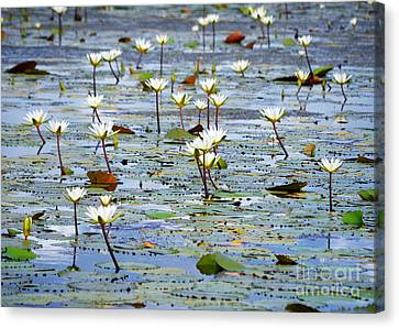 Natural Wild Water Lilies And Pads On The Eastern Coast Of Cozumel Island Mexico Canvas Print