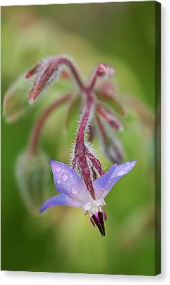 Nature Close-up Of A Shooting Star Canvas Print by Jaynes Gallery
