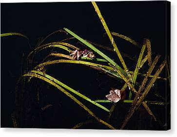 Nature Floats Canvas Print by Karol Livote