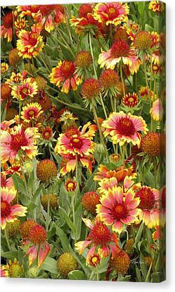 nature - flowers -Blanket Flowers Six -photography Canvas Print by Ann Powell
