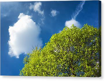 Nature In Spring - Bright Green Tree And Blue Sky Canvas Print by Matthias Hauser