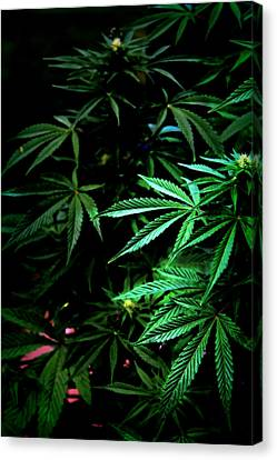 Canvas Print featuring the photograph Nature's Medicine by Jeanette C Landstrom