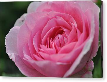 Canvas Print featuring the photograph Nature's Pink by Sabine Edrissi