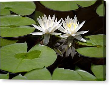 Nature's Snow White Water Lilies Canvas Print by Linda Phelps