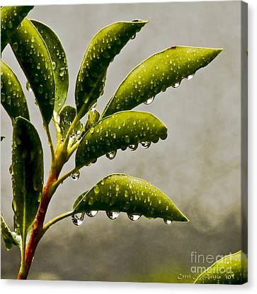 Natures Teardrops Canvas Print by Carol F Austin