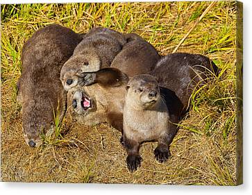 Canvas Print featuring the photograph Naughty Otters by Aaron Whittemore