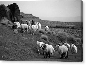 Navajo Sheep Canvas Print