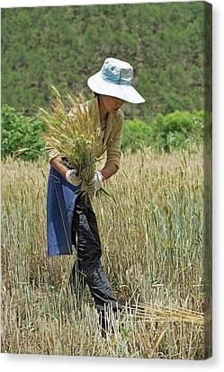 Working Women Canvas Print - Naxi Minority Woman Harvesting Wheat by Tony Camacho