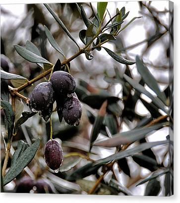 Nazareth Olives Israel Canvas Print