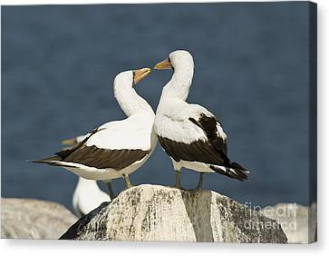 Nazca Booby Pair Canvas Print by William H. Mullins