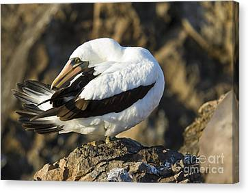 Nazca Booby Preening Canvas Print by William H. Mullins