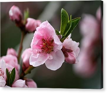 Nectarine Blossom Canvas Print