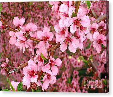 Canvas Print featuring the photograph Nectarine Blossoms by Polly Anna