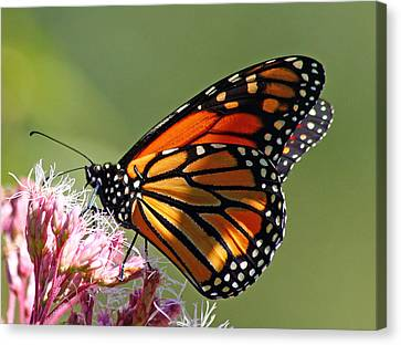 Canvas Print featuring the photograph Nectaring Monarch Butterfly by Debbie Oppermann
