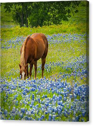 Nelly Grazing Among The Bluebonnets Canvas Print by Dee Dee  Whittle
