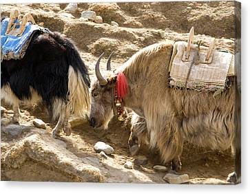 Yak Canvas Print - Nepal Yak Move Along The Everest Base by David Noyes