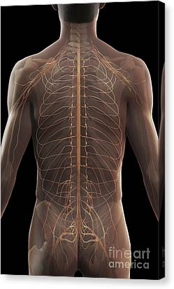 Nerves Of The Upper Body Canvas Print by Science Picture Co