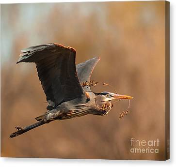 Nest-building Great Blue Canvas Print by Robert Frederick