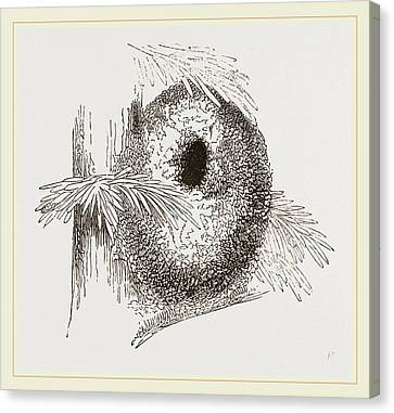 Nest Of Long-tailed Titmouse Canvas Print by Litz Collection