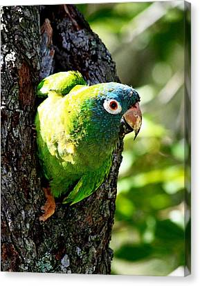 Nesting Blue-crowned Parakeet Canvas Print