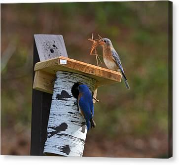 Nesting Bluebirds Canvas Print