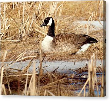 Canadian Marsh Canvas Print - Nesting Goose by Thomas Young