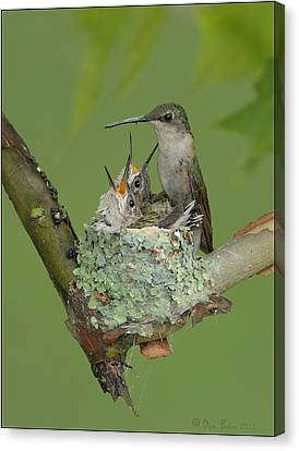 Canvas Print featuring the photograph Nesting Hummingbird Family by Daniel Behm