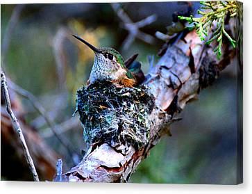 Nesting Hummingbird Canvas Print