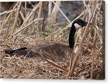 Nesting Mother Goose Canvas Print by Natural Focal Point Photography