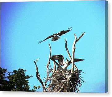 Nesting Ospray Canvas Print by Will Boutin Photos