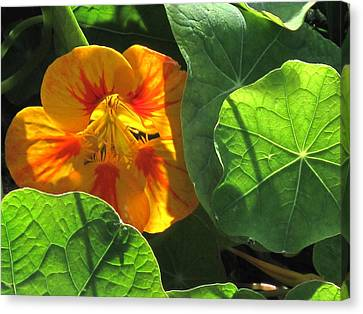 Canvas Print featuring the photograph Nestled Nasturtium by Suzy Piatt