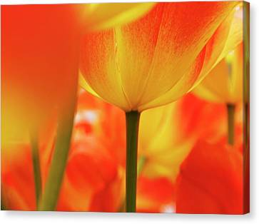 Netherlands, Macro Of Colorful Tulip Canvas Print