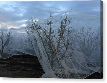 Canvas Print - Netted Fruit Trees by Marsha Ingrao